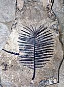 Zamites fossil branch