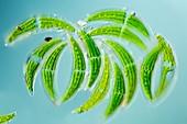 Green algae, light micrograph