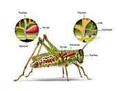 Grasshopper and insect respiratory system, illustration