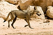 Arabian wolf