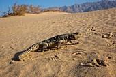 Egyptian dabb lizard