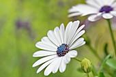 Weiße Blüte von Kapkörbchen