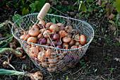 Drahtkorb mit Zwiebeln im Beet