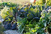 Gemüsebeet mit Rosenkohl 'Rubine', Sellerie und Borretsch
