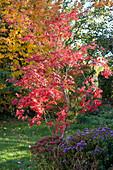 Japanischer Fächerahorn in leuchtend rotem Herbstlaub