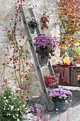 Vertikale Bepflanzung spart Platz: Töpfe mit Chrysantheme, Teppich-Fetthenne, Alpenveilchen, Korb mit Äpfeln an Holzleiter, Symphoricarpos, Acer palmatum, Zweig mit Hagebutten