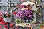 Chrysantheme, Hornveilchen und Crassula im Wandregal, Alpenveilchen und Tulpenzwiebeln im Wandkorb, Kränzchen aus Zierapfel