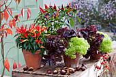 Naschzipfel 'Medusa', Chili 'Pretty in Purple' und Pflücksalat in Tontöpfen, Kastanien als Deko