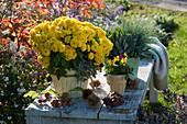 Gelbe Chrysantheme Dreamstar 'Hami', Hornveilchen, Strukturpflanze und Blauschwingel auf Gartenbank