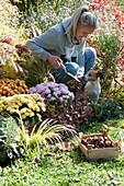 Frau pflanzt Tulpenzwiebeln ins Beet mit Chrysanthemen, Hund Zula schaut
