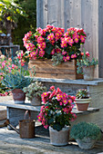 Begonien 'Valentino Pink', Greiskraut 'Blue Finger', Chinesische Narrenkappe, Echeverie und Fetthenne auf Blumentreppe
