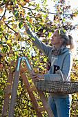 Frau auf der Leiter bei der Apfelernte