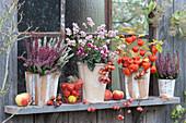 Herbstliches Topf-Arrangement am Gartenhaus: Knospenheide 'Twin Girls' 'Gardengirls', Schneebeere, Alpenveilchen, Lampionpflanze