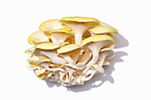 Fresh golden oyster mushrooms