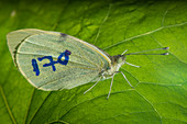 Lepidopteran labelled for ecological research