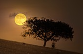 Golden Beaver Moon over tree