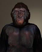Australopithecus anamensis male