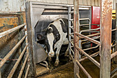 Automated milking stall on dairy farm
