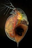 Daphnia water flea with eggs, light micrograph
