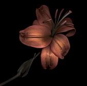Lilium sp. flower