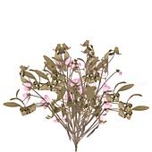 Common mistletoe (Viscum album)