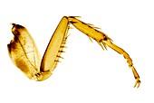 Cockroach leg, light micrograph