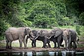 African Elephants greeting