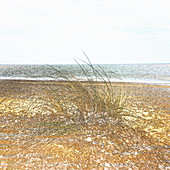 Marram grass growing on beach, illustration
