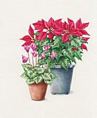 Poinsettia and cyclamen in pots, illustration