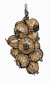 String of onions, illustration