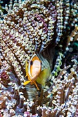 Clark's anemonefish and beaded anemone, Bali, Indonesia