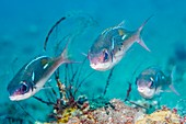 Pearl-streaked monocle bream on reef, Bali, Indonesia
