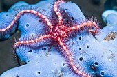 Dark red-spined brittlestar on coral, Bali, Indonesia