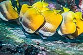 Klein's butterflyfish feeding on eggs, Bali, Indonesia