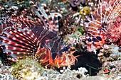 Zebra lionfish on reef, Bali, Indonesia