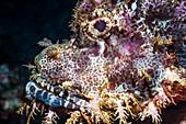 Tasseled scorpionfish, Bali, Indonesia