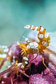 Durban hinge-beak prawn on reef, Bali, Indonesia