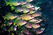 Bluestripe snappers on reef, Indonesia
