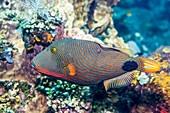 Orange-lined triggerfish on reef