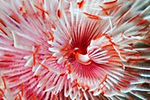 Magnificent tube worm, Bali, Indonesia