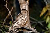 Barking owl, Brisbane, Australia