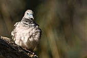 Peaceful dove, Brisbane, Australia