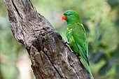 Scaly-breasted lorikeet, Brisbane, Australia