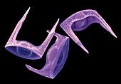 Diatoms, SEM