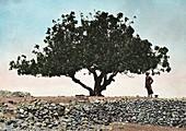 Tree before locust plague in Palestine in 1915