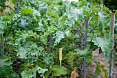 Lipped palm (Brassica oleracea var. Sabellica)