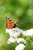 Schmetterling 'Kleiner Fuchs' auf Blüte vom Strandflieder