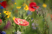 Blumenwiese mit Klatschmohn, Borretsch und Wucherblumen