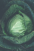 Green cabbage head close up