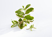 Fresh pineapple mint in front of a white background